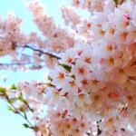 千葉でお花見しながらバーベキュー出来る場所|周辺の買出し情報