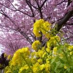 河津桜まつりの時期はいつ?見頃情報や周辺の宿について