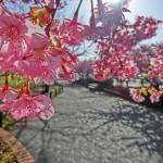 関東で3月から開催の桜まつり|2月のお花見情報も有ります