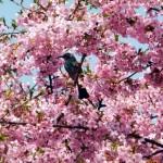 東京近郊でハイキングしながら桜を見れる場所知ってる?