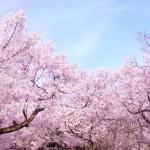 桜の開花予想2016がでました!その精度がすごい事になってる!?